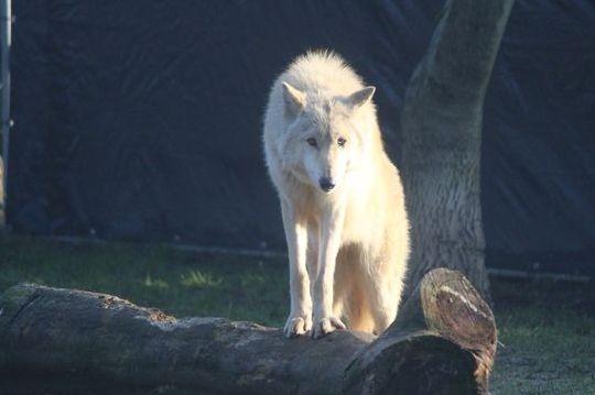 Majestic American wolfdog Mona