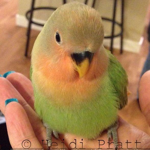 Opaline Peachfaced Lovebird - Pet Bird