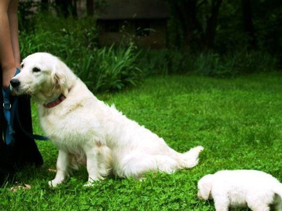 English Creme Golden Retriever Puppies Kansas