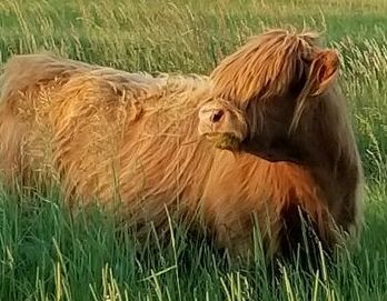 Mini Pure bred Highland cow at sunset