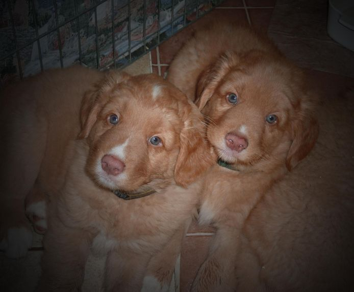 Bam and Cruzr ... Tikka x Roy litter