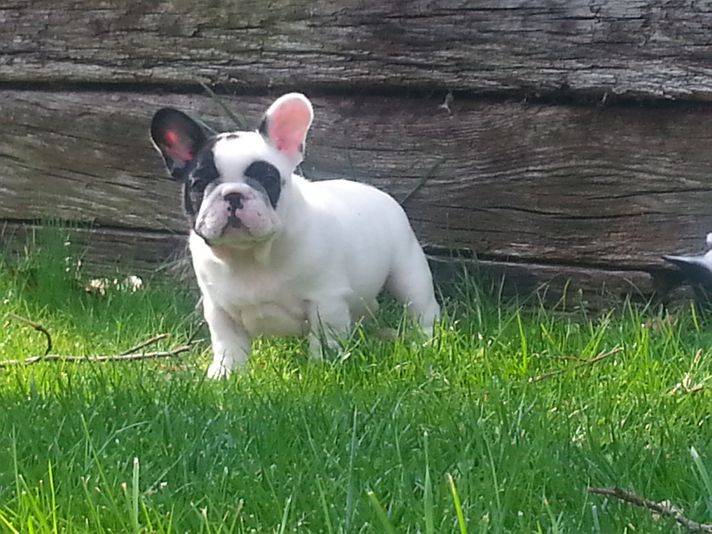 Pied Male French Bulldog Puppies