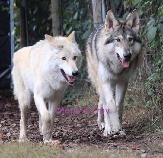 American Wolfdogs Mona and Troy