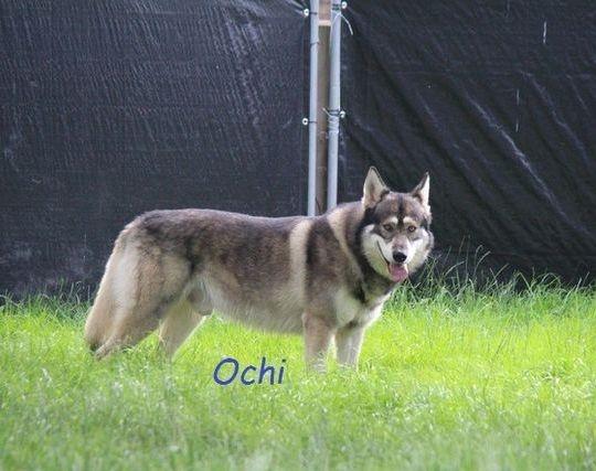 Honiahaka Stud Dog Ochi