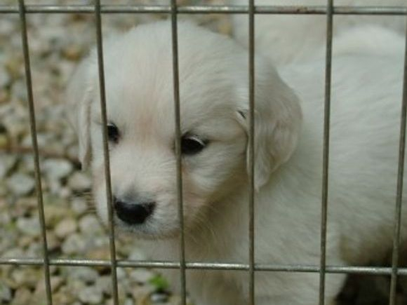 Elsie-Abraham  - English Creme Golden Retriever Puppies Kansas