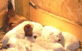 Pearl is happy to let the hen watch her pups