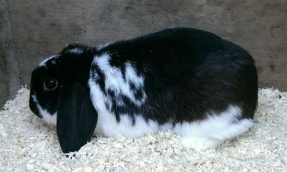 Mini Lop Breeder Ireland