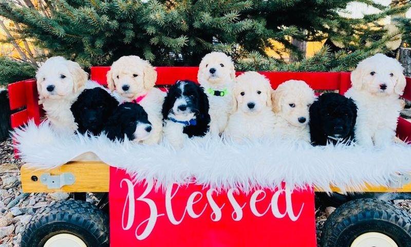 f1b mini puppies
