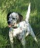Porsche - English setter female