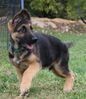 Loving, great looking no over angulation GSD's