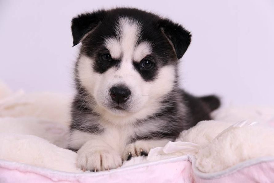 SIBERIAN HUSKY PUPPY FOR SALE
