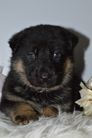 healthy pups from DNA & X rayed & temperament tested AKC parents