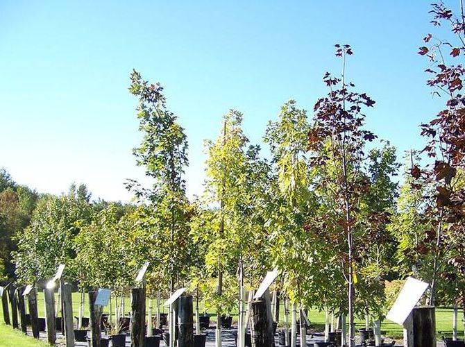 Shade Trees (Maple Selection)
